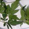 உழிஞை-(Cardiospermum halicacabum) 7 (Dr.S.Soundarapandian) Tags: vine taminadu balloon hydrocele rheumatism scrotum medicinal herbal india paste poultice