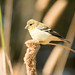 DSC_2495.jpg American Goldfinch, Struve Slough