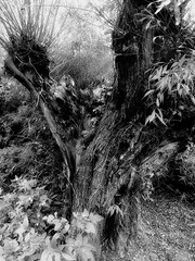 Rotted tree trunk (martin.bruntnell) Tags: rotted tree trunk rottedtreetrunk mono bw willowtree