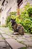 IMGP0768 (fLobOOk) Tags: cordes sur ciel cordessurciel aveyron tarn village médiéval histoire chien chat france europe garonne tarnetgaronne