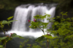 Butte Creek Falls, Oregon, wildflowers (lessa.clayton) Tags: buttecreekfalls oregon wildflowers