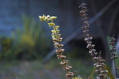 Hoy (lucascáceres1) Tags: macrophoto plant naturephoto naturephotography flower closeup nikon nikonistas d3200 green garden