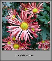 Chrysanthemum 13 (M.J.Woerner) Tags: november fallmums asteraceae chrysanths autumcolors postermums chrysanthemum autumflower