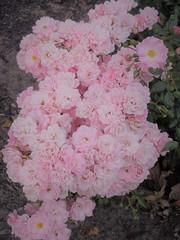 ** Les petites roses d'automne ** (Impatience_1(retour progressif)) Tags: rose fleur flower automne fall autumn m impatience wonderfulworldofflowers saveearth supershot coth coth5 alittlebeauty sunrays5