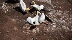 DSC_0749 (Hanzy2012) Tags: northerngannet gannet foudebassan morusbassanus bird wildlife quebec vacation gaspe peninsula august bonaventure island parcnationaldelîlebonaventureetdurocherpercé canada