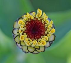 Zinnie (LuckyMeyer) Tags: blume blüte flower fleur zinnia green yellow summer garden knospe