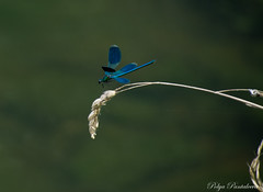 Fragility (Polya Photography) Tags: dragonfly insects outdoor beautiful blue nature fragility balance peaceful animal colors ngc nikon