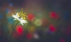 Nigella Love-in-a-Mist (Dhina A) Tags: sony a7rii ilce7rm2 a7r2 wollensak 3inch 75mm f19 oscilloraptar 109x wollensak75mmf19 bokeh 19 oscilloscope nigella loveinamist flower