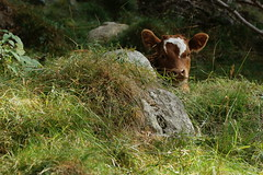 Cache cache (Onnalua) Tags: montagne pyrénées france veau cow baby tête face funny cute animal cache