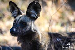 Wild Dog (www.jamesbrew.com) (James Brew (www.jamesbrew.com)) Tags: botswana africa southern wildlife okavango delta moremi game reserve wild dog painted predator