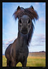 What are looking at? (Ilan Shacham) Tags: iceland horse hair animal field look funny fun black fineart fineartphotography