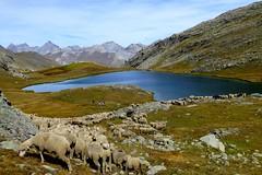Lac du Lauzanier (b.four) Tags: mouton pecora sheep lago lake lac montagna montagne mountain lauzanier hauteubaye alpesdehauteprovence ruby5 coth5 ruby10