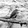 Stalking the Juvenile Green Heron 5 (brev99) Tags: juvenilegreenheron tamron70300vc d610 oxleynaturecenter bird highqualityanimals photoshopelements12 pond colorefex squareformat blackandwhite
