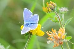 Common Blue (Polyommatus icarus) (Brian Carruthers-Dublin-Eire) Tags: common blue polyommatus icarus commonblue polyommatusicarus bluebutterfly commonbluebutterfly butterfly insecta animalia animal wildlife nature
