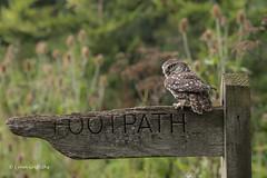 Nice landing 750_0029.jpg (Mobile Lynn) Tags: nature owls birds littleowl bird fauna strigiformes wildlife nocturnal otterbourne england unitedkingdom gb coth specanimal sunrays5 ngc coth5