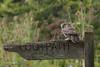 Nice landing 750_0029.jpg (Mobile Lynn) Tags: nature owls birds littleowl bird fauna strigiformes wildlife nocturnal otterbourne england unitedkingdom gb coth specanimal sunrays5 ngc coth5 npc
