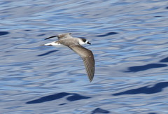 Black-capped Petrel. (c) Michael M Brothers 2017 All rights reserved.