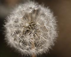 Dande-dew (back stage) Tags: dandelion seeds water drops ocf offcameraflash garden weed macro springfield mo