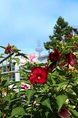 IMG_9644 (AndyMc87) Tags: hibiscus flower frankfurt palmengarten fernsehturm tower bokeh canon eos 6d 2470 l green blue sky blossom