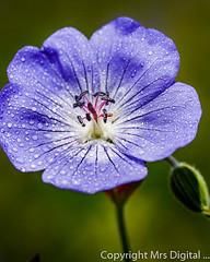 Mrs Digital Pensthorpe _MG_0551 PF.jpg (Mr and Mrs Digital) Tags: garden summer 2017 macro flower flowersplants sancturay norfolk pensthorpe coth5 coth