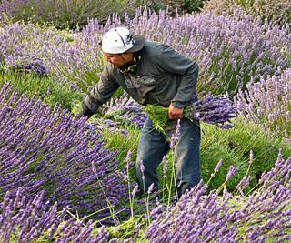 Harvesting Lavender, August 2017