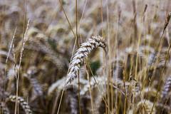 Les vacances en France de Lady Do (19) (dominiquita52) Tags: nature field champ blé wheat harvest moisson campagne
