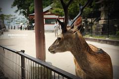DSC_0670_副本 (Yuchi Wang) Tags: nikon d700 miyajima hiroshima japan 宮島 嚴島神社 廣島 日本