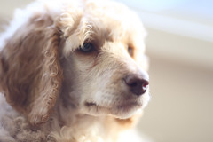 The many faces of Willow (1/6) (geemuses) Tags: willow puppy poodle standardpoodle dog pet canine cute beautiful young nature animal canon canoneos6d