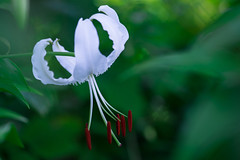 lily 1965 (junjiaoyama) Tags: japan flower lily plant white summer