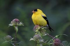 Everything's golden (marensr) Tags: goldfinch finch gold bird nature yellow spinus tristis wild bergamot bee balm monarda fistulosa male birding