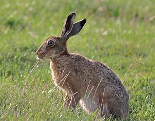 Brown Hare - Lepus europaeus UB2A5700
