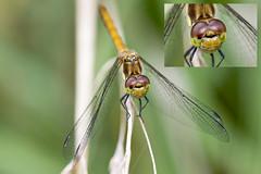 Steenrode heidelibel-Vagrant Darter (Sympetrum vulgatum) (Bram Reinders(on-off)) Tags: facetogen faceteyes steenrodeheidelibel vagrantdarter sympetrumvulgatum dragonfly delfzijl natuur nature wildlife micro macro curiosityisthesourceofallknowledge nieuwsgierigheidisdebronvanallekennis groningen holland nederland thenetherlands nikond500 nikonafs200500mmf56evred nikon200500 nikkor200500 200500 nikkor nikon ©bramreindersdelfzijl bramreinders bram reinders wwwbramreindersnl