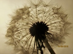 Wishes (Jayda Gunduz) Tags: dandelion flower blackandwhite wish nature dream