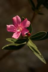 Buongiorno (Nikonfotografie) Tags: nikond7100 nikon macro makro detailverliebt pienza bellaitalia tuscany toskana blumen mediterran oleander pink blüte flower italy italien