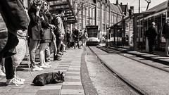 about to take the tram ... (Gerard Koopen) Tags: nederland netherlands amsterdam city capital tram dog blackandwhiteonly straatfotografie streetphotography straat street candid streetmagazine fujifilm fuji x100t 2017 gerardkoopen littledoglaughednoiret