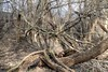 In Pursuit of Spring - DSC_2443_Enhanced (Lav Ulv) Tags: spring forest høskoven vibyj aarhus denmark entangled