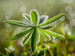 Dewy (Fjällkantsbon) Tags: evamårtensson makro trädgården dagg morgon västerbottenslän sverige dew dewy macro light bookeh lupine