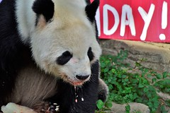 Giant panda ( Ailuropoda melanoleuca) _DSC0593 (ikerekes81) Tags: giantpandaailuropodamelanoleuca giantpanda ailuropodamelanoleuca panda giantpandabear bear happybirthday tiantian tian smithsoniannationalzoologicalpark smithsonian smithsoniannationalzoo national nationalzoo dczoo dc zoo zoosmithsonian nikond3200 nikon d3200 70300mm istvankerekes istvan kerekes ik fonz fonzphotoclub