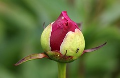 The ant on the peony (irio.jyske) Tags: nature flower peony leafs ant bokeh green purple summer park garden beauty canonlens canoncamera canon