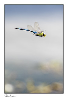 Emperor dragonfly (Anax imperator) in flight [Explored]