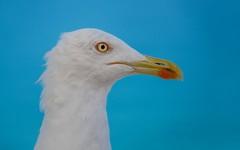 seagull (03) (Vlado Ferenčić) Tags: animals birds seagull adriatic adriaticsea vladoferencic hrvatska vladimirferencic animalplanet croatia nikond600 nikkor8020028 galeb