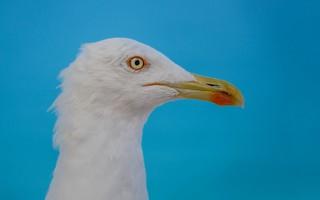 seagull (03)