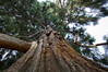 Volunteer Park_Tree_Up Shot_Nature_1 (Zero State Reflex) Tags: seattle volunteerpark tree upshot nature geometry photography canon 5dmark3