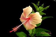 Hibisco/Hibiscus (Altagracia Aristy Sánchez) Tags: hibisco hibiscus laromana quisqueya repúblicadominicana dominicanrepublic caribe caribbean caraïbe antillas antilles trópico tropic américa fujifilmfinepixhs10 fujifinepixhs10 fujihs10 altagraciaaristy