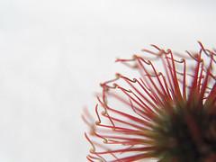 Reaching Out (AleksandraMicic) Tags: photographs photography photos photo flickr images image aleksandramicic micicart micicartstudio macro nature priroda inspiration bukulja biology biologija plant plants biljka weed korov cvet cvece flowers flower floral flora 7dwf
