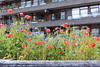 Barbican Flowers-4 (CaptainAperture) Tags: barbican london flowers brutalist poppies cornflowers