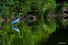 Le héron (didier95) Tags: heron oiseau reserveornithologiqueduteich leteich gironde vert eau reflet vegetaux vegetal herbe