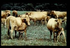 Trepanotolerance, Cattle, N'dama = ンダマ種におけるトリパノゾーマ耐性