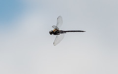 Dragon Fly Dragon Fly (GIgaYork) Tags: 18300fx 18300mm d810 fx fxlens fullframe nikkor nikkor18300 nikon nikon18300mm nikond810 barmston eastyorkshire humberside yorkshire dragonfly flydragon fly dragon largefly