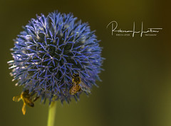 Bees On The Globe Thistle (rebeccalatsonphotography) Tags: bee flower purple lavender thistle globethistle round rebeccalatsonphotography canon telephoto 1dx 100400mm